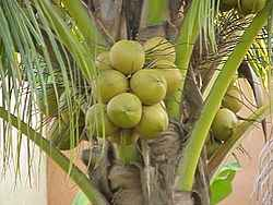 guadeloupe/noix coco.jpg
